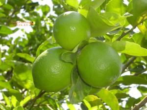 1 limon arbol
