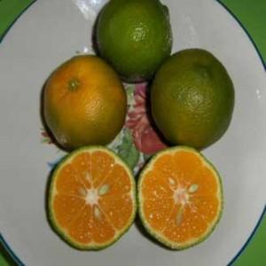 1limon mandarino