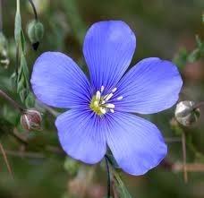 linaza flor